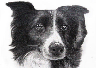 Canine – Border Collie