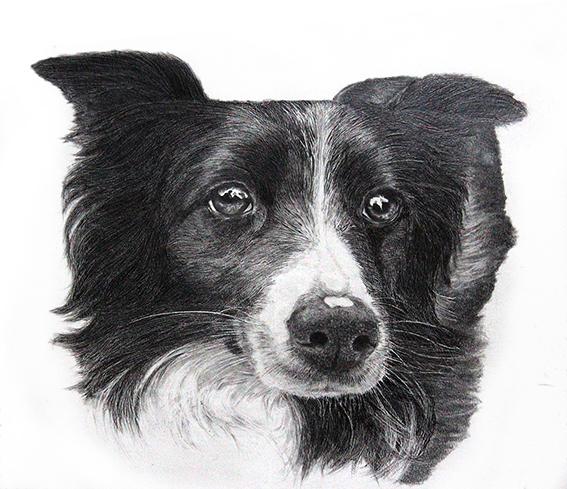 Canine – Border Collie