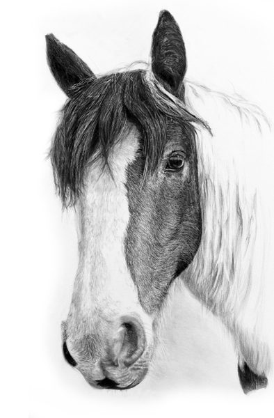Equine Portrait – Drawing