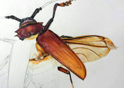 Insect detail Illustration (Amazon)