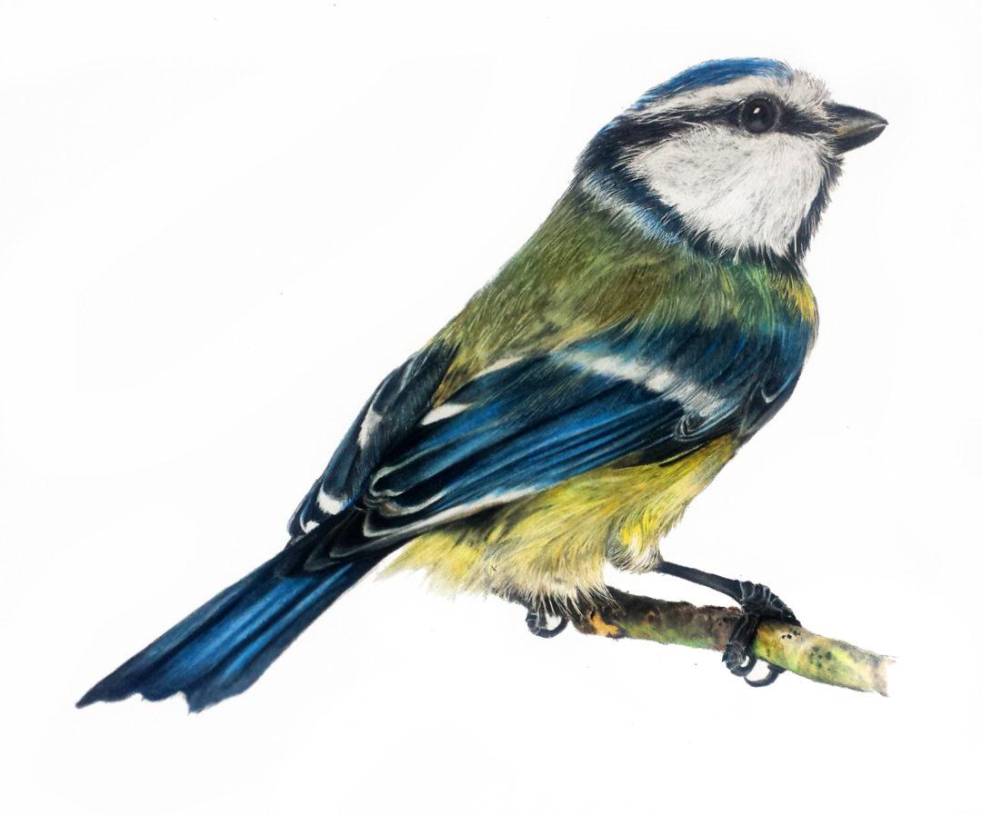 Blue Tit Illustration (Amazon)