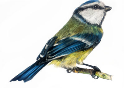 Blue Tit Illustration (Amazon)