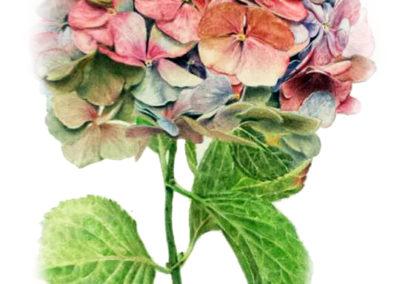 Botanical Colour Pencil Illustration