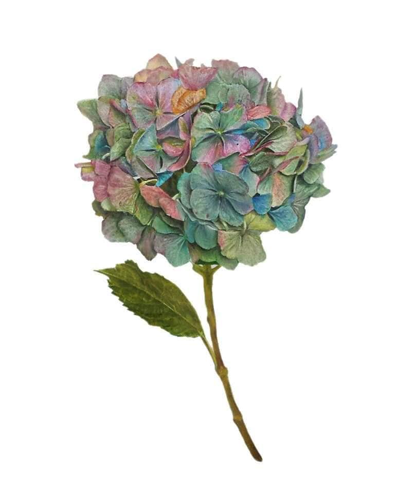 Botanical – Hydrangea 2